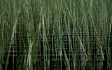 Green reed in water