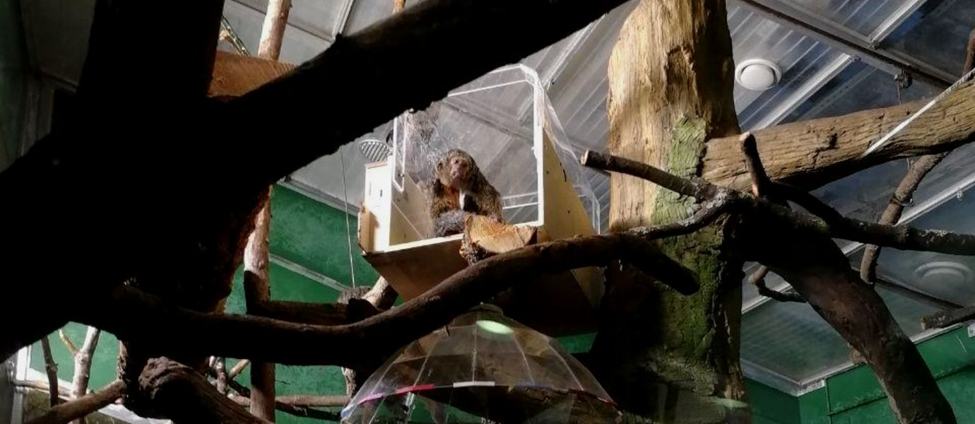 A white-face saki sitting inside the tunnel-shaped device inserted on a tree brach in the Amazonia House of Korkeasaari