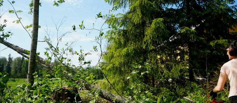 cutting down an alder tree in a green forest scenery with a bright summery sky