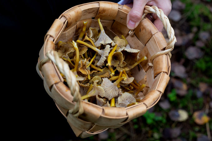 A collection of chanterelle and funnel chanterelle are shown inside a traditional woven basket