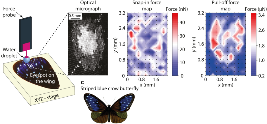 Scanning Droplet Adhesion Microscopy (SDAM) technique is 1000 times more sensitive than the existing commercial force tensiometers, and enables detailed wetting mapping of topographically complex, liquid-repellent surfaces. The image shows a schematic of droplet adhesion -based wetting mapping on a Striped Crow Butterfly wing. Maja Vuckovac / Aalto university